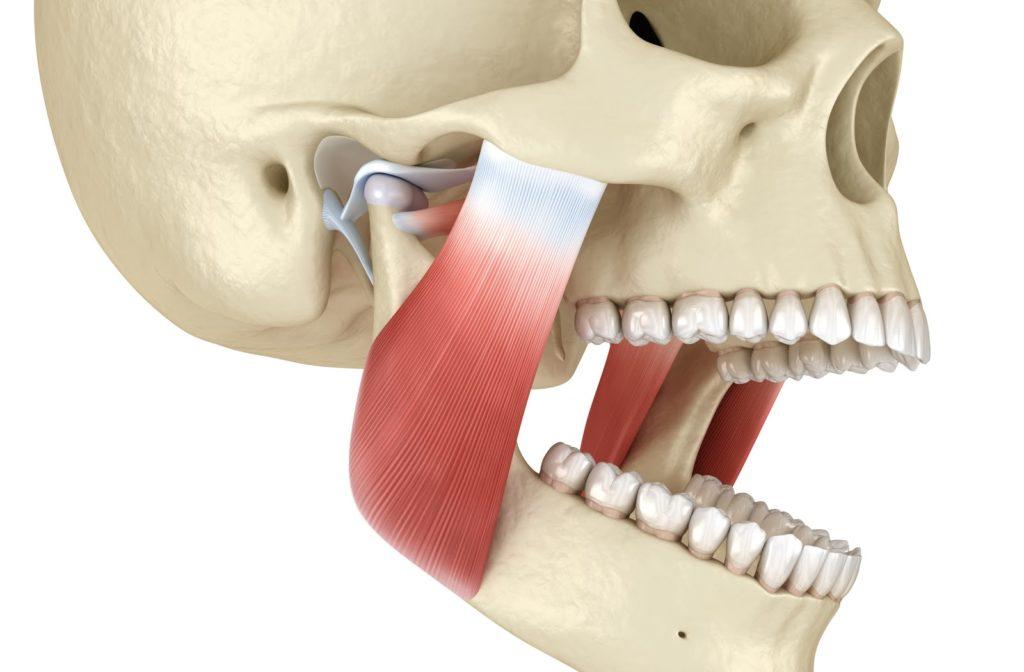 Rendering of temporomandibular joint connecting human skull to open jawbone